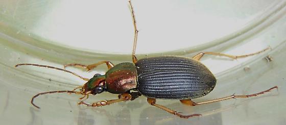 Beetle- - Chlaenius - Chlaenius tricolor - male