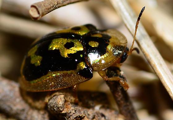 odd little beetle - Deloyala lecontii