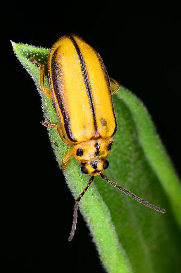 Unknown beetle - Xanthogaleruca luteola
