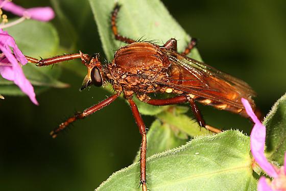 robber fly - Diogmites basalis