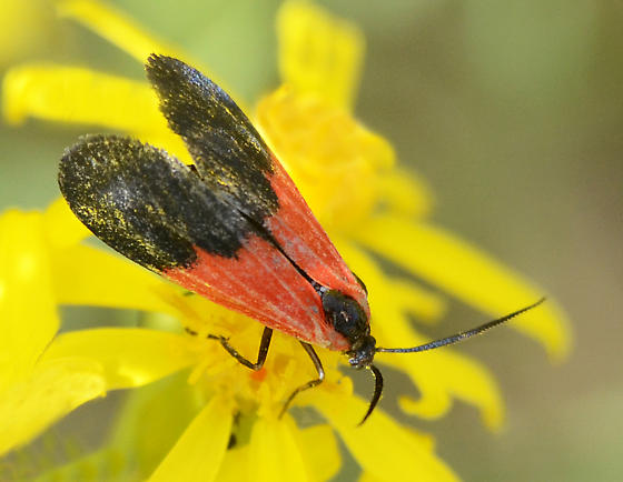 Black and Yellow Lichen Moth? - Lycomorpha pholus