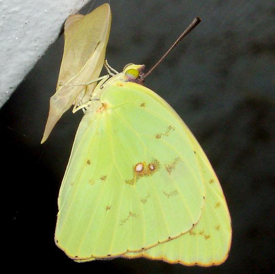 Sulphur butterfly - cloudless? - Phoebis sennae - male