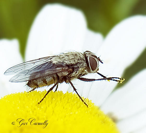 Tiger Fly or Cluster Fly? - Pollenia - female