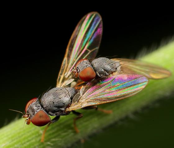 Diptera - Pseudodinia antennalis - male - female