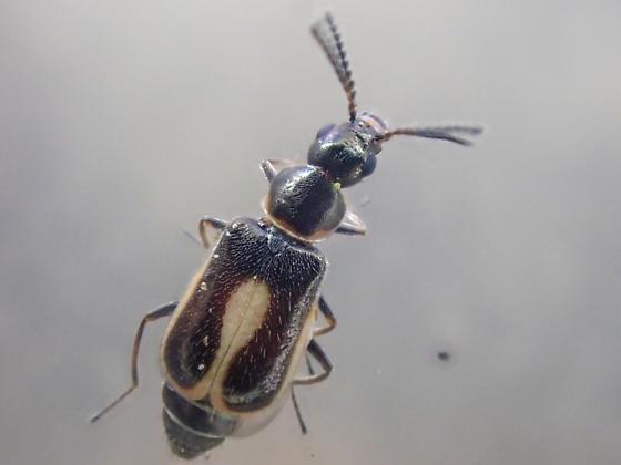 Genus Attalus - Attalus