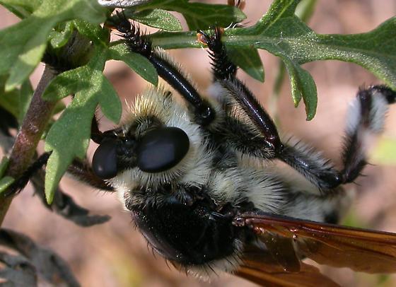 Mallophora bomboides