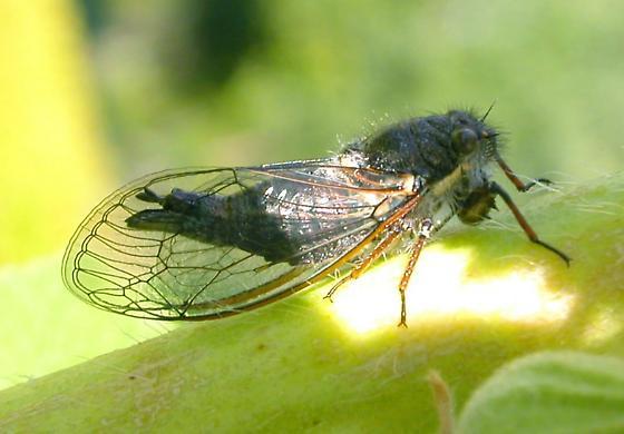 Cicada - Platypedia minor