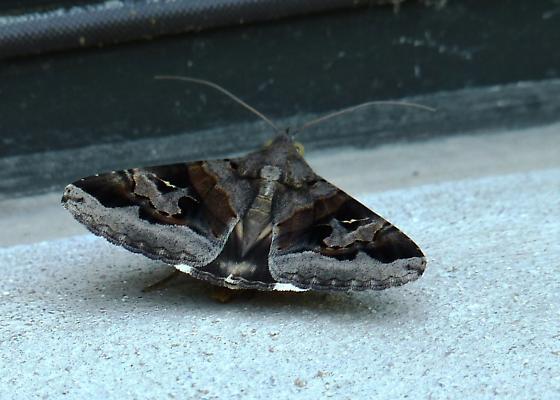 Melipotis Moth?  - Melipotis indomita