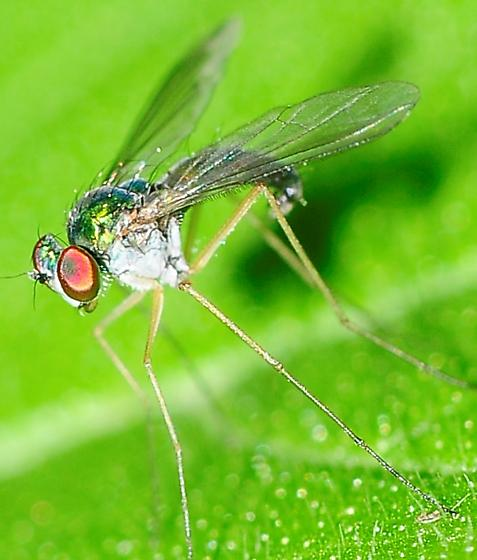 Longlegged Flies Sciapodinae Amblypsilopus scintillans  - Amblypsilopus scintillans - male