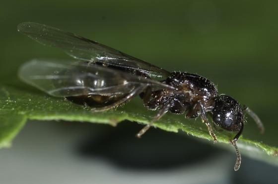 Ant swarm - Crematogaster cerasi - female