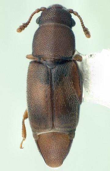 Smicripidae Smicrips palmicola - Smicrips palmicola