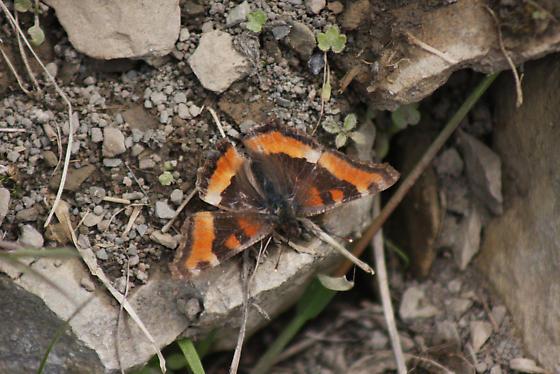 Butterfly on coastal tundra, Labrador - Aglais milberti