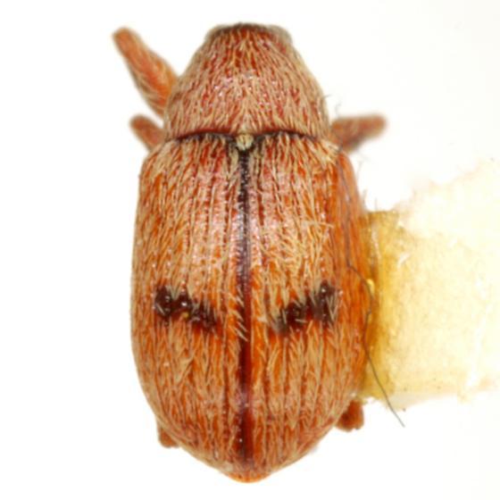 Anthonomus juniperinus (Sanborn) - Anthonomus juniperinus
