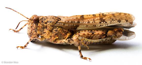 Cibolacris parviceps - female