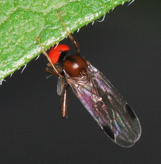Dance Fly - Syneches - male