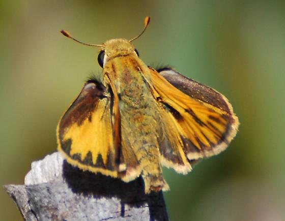 Skipper Number 2 - Hylephila phyleus