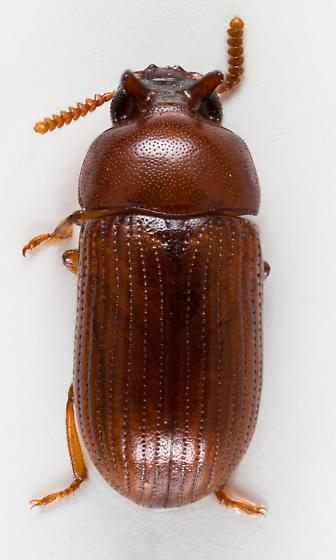 Darkling Beetle - Neomida ferruginea - male