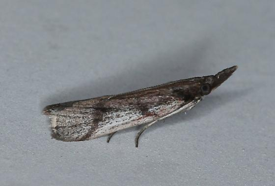 6042 – Peoria longipalpella – Long-palps Peoria Moth  - Peoria longipalpella