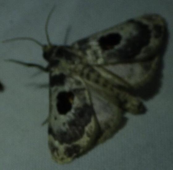 Moth attracted to blacklight - Thyridopyralis gallaerandialis