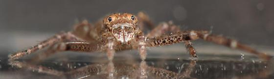Tmarus - Tmarus angulatus