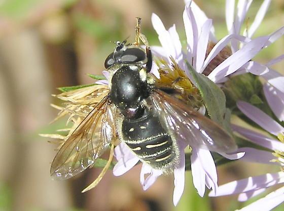 New fly to ID if possible. - Sericomyia militaris