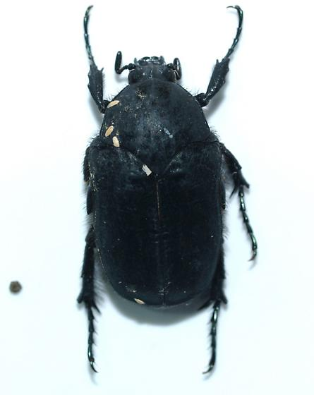 C. impia - Cotinis impia