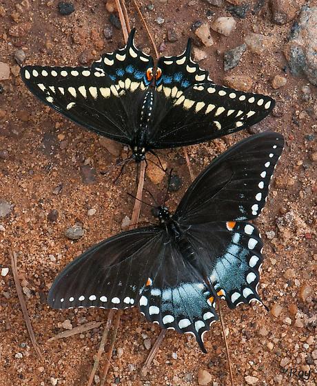 GA March - Papilio polyxenes - male