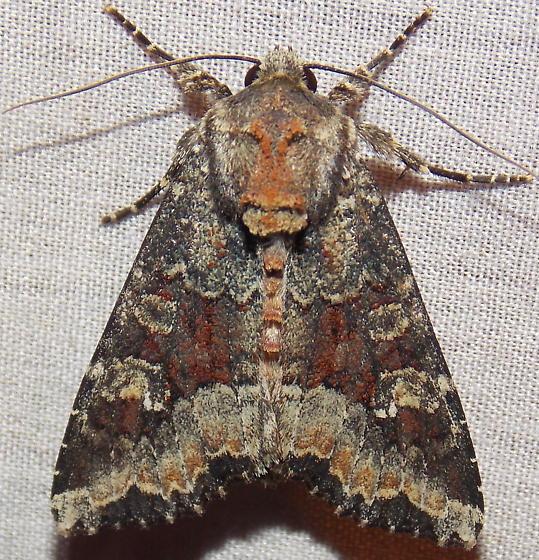 9348 Yellow-headed Cutworm - Apamea amputatrix