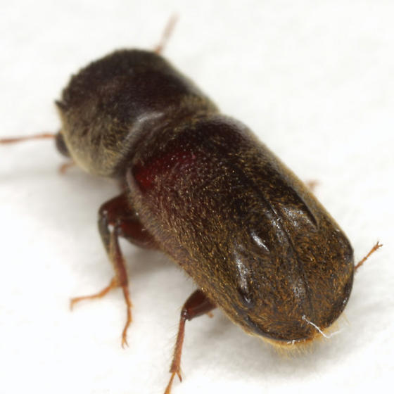 Dendrobiella sericans (LeConte) - Dendrobiella sericans