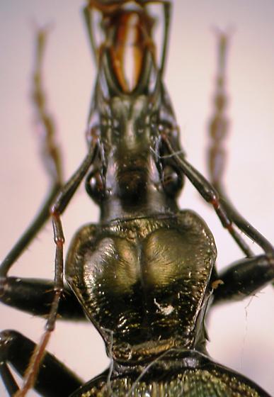 Scaphinotus andrewsii mutabilis Casey - Scaphinotus andrewsii
