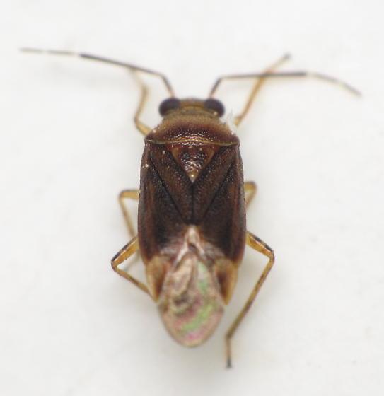 Mirid - Tropidosteptes