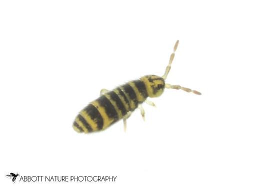 Collembola - Isotomurus bimus