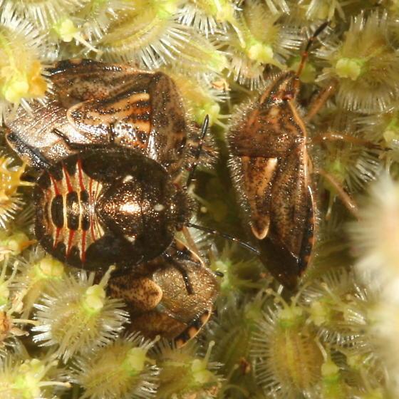 stinkbug with nymphs - Trichopepla semivittata