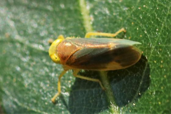leafhopper - Jikradia