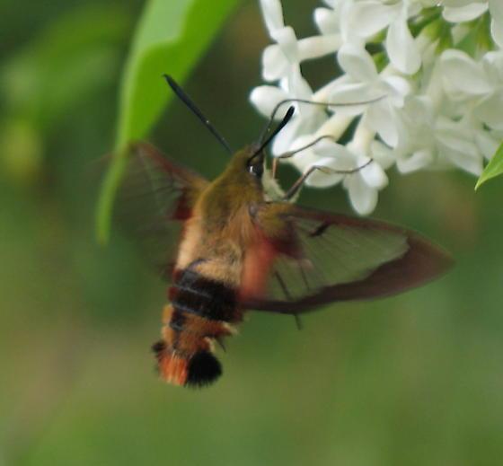 Hummingbird clearwing  - Hemaris thysbe