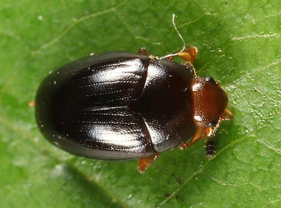 Tritoma erythrocephala? - Tritoma angulata