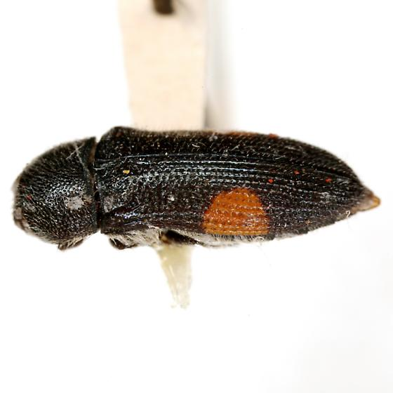 Acmaeodera davidsoni Barr - Acmaeodera davidsoni