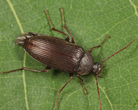 Darkling Beetle - Androchirus erythropus