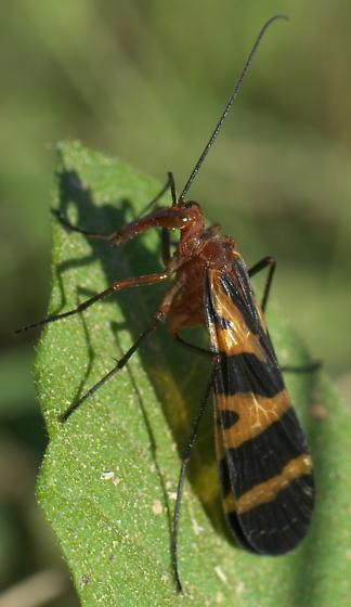 Scorpoinfly - Panorpa nuptialis