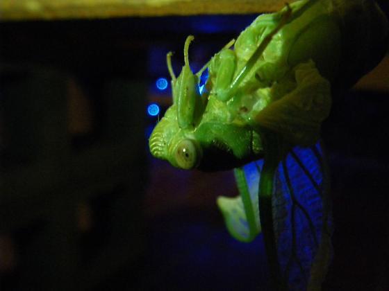 Emerging cicada - Megatibicen auletes