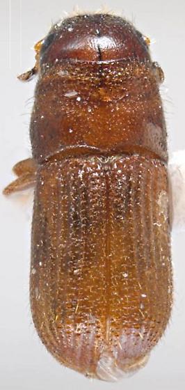 Dendroctonus frontalis - female
