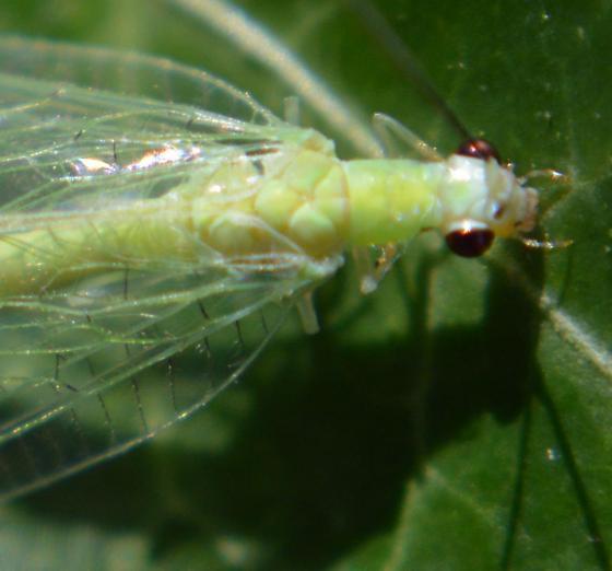 Green Lacewing- Id help - Chrysopa nigricornis