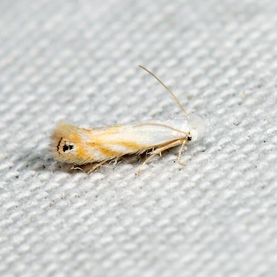 micro moth - Bucculatrix copeuta