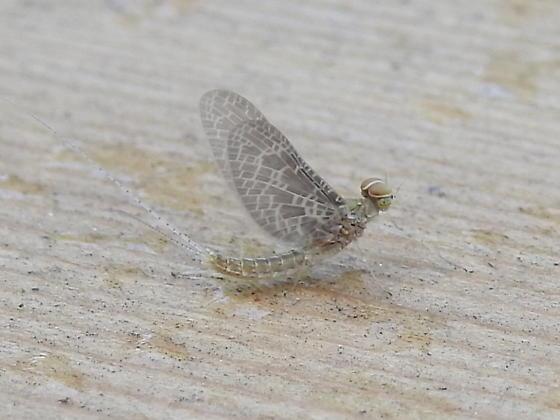 Small Minnow Mayfly (Callibaetis ferrugineus ferrugineus)  ??? - Callibaetis skokianus