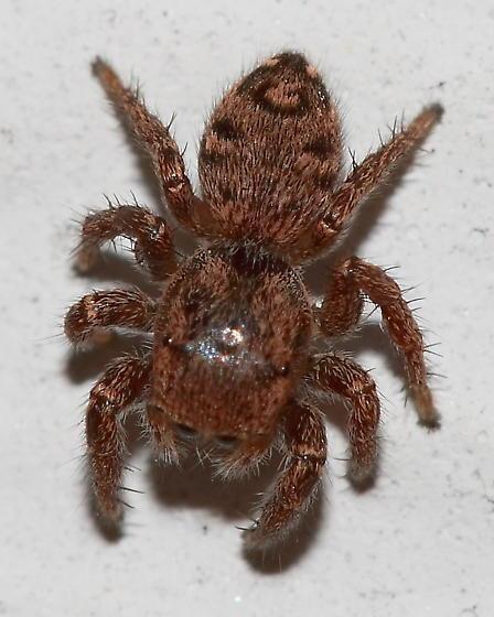 Jumping Spider - Habronattus coecatus