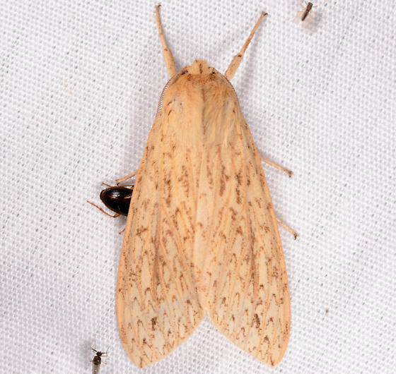 Leucanopsis - Leucanopsis longa