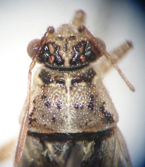 hempitera - Brachycarenus tigrinus