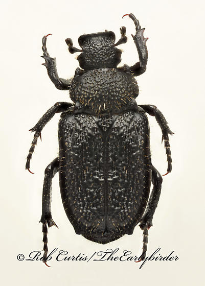 9020102 (Cremastocheilus - Cremastocheilus castaneae