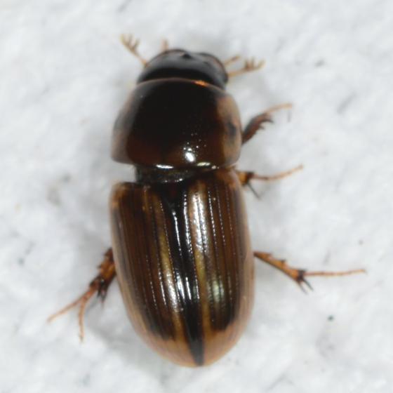 Aphodius pseudolividus - Aphodius (Labarrus) pseudolividus ? - Aphodius pseudolividus