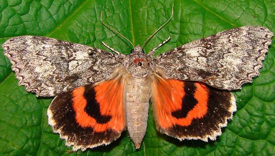 Catocala unijuga - female
